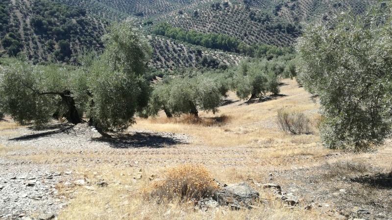 Olivar a finales de verano en Sierra Morena y el alto Guadalquivir - Página 3 3278c710