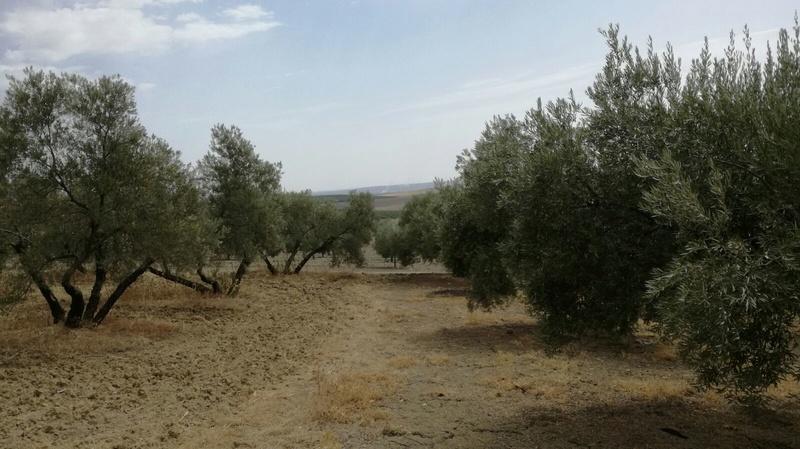 Olivar a finales de verano en Sierra Morena y el alto Guadalquivir - Página 3 410