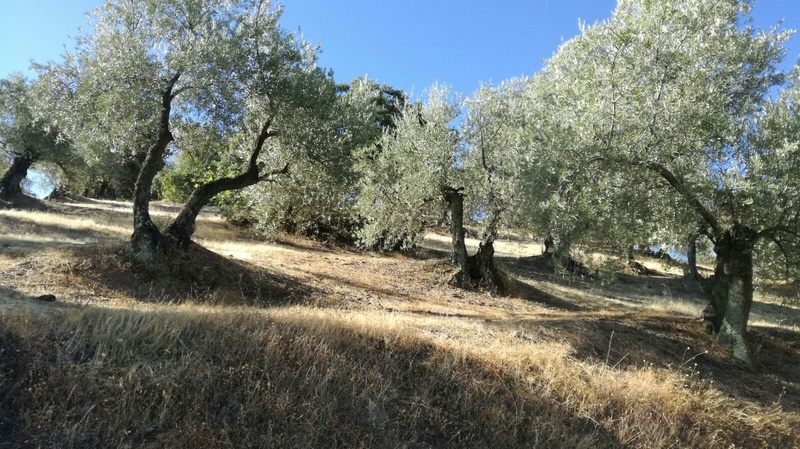 Olivar a finales de verano en Sierra Morena y el alto Guadalquivir - Página 3 4cc05a10
