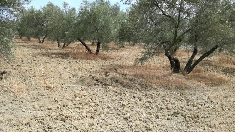 Olivar a finales de verano en Sierra Morena y el alto Guadalquivir - Página 3 510