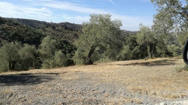 Olivar a finales de verano en Sierra Morena y el alto Guadalquivir - Página 3 Ba817610
