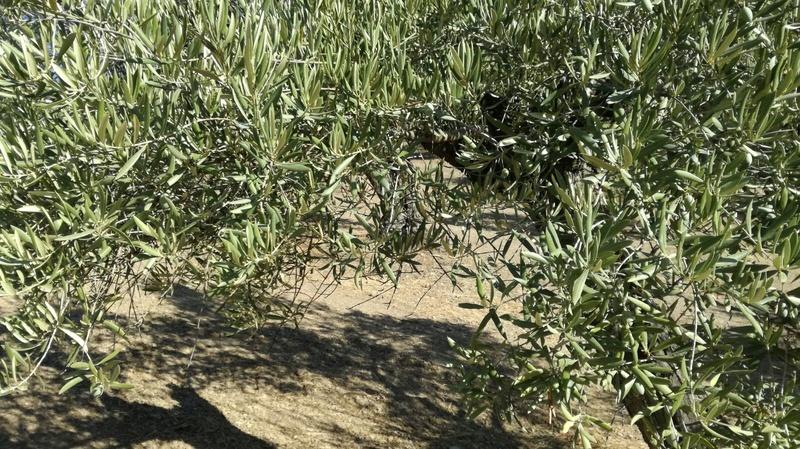 Olivar a finales de verano en Sierra Morena y el alto Guadalquivir - Página 3 C28b1810
