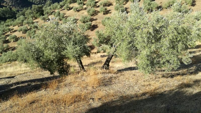 Olivar a finales de verano en Sierra Morena y el alto Guadalquivir - Página 3 F5c1b410
