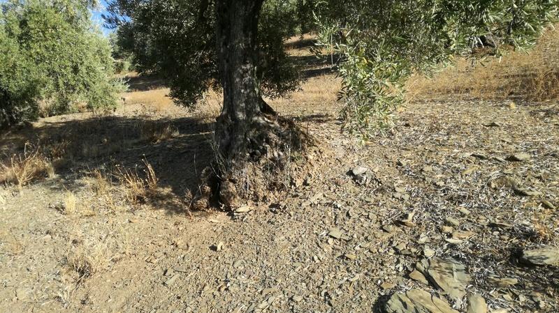 Olivar a finales de verano en Sierra Morena y el alto Guadalquivir - Página 3 F777db10