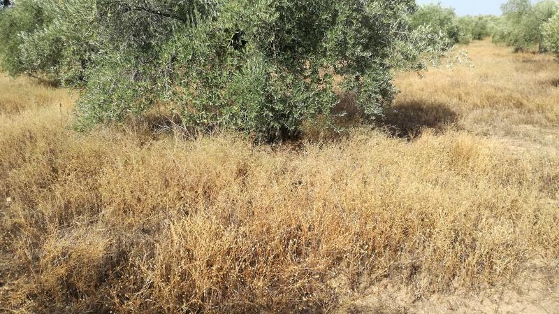 Olivar a finales de verano en Sierra Morena y el alto Guadalquivir - Página 3 Img_2032