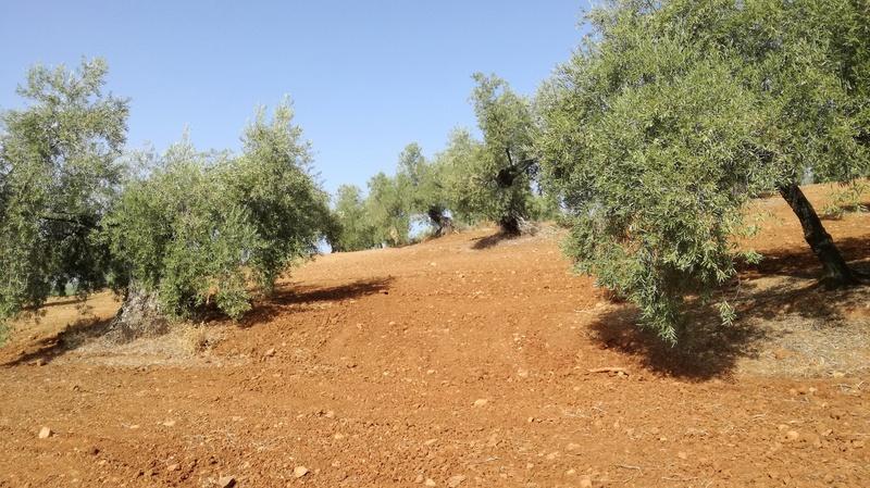 Olivar a finales de verano en Sierra Morena y el alto Guadalquivir - Página 3 Img_2034