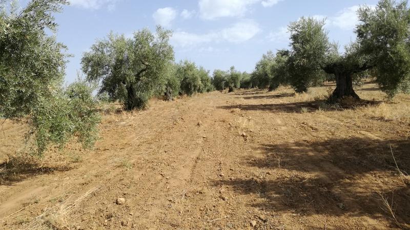 Olivar a finales de verano en Sierra Morena y el alto Guadalquivir - Página 3 Img_2038
