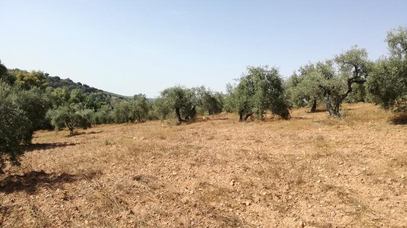Olivar a finales de verano en Sierra Morena y el alto Guadalquivir - Página 3 Img_2041