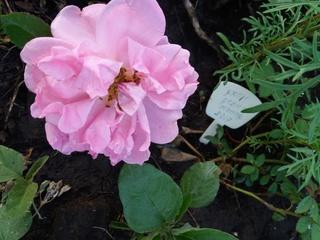 Розы цветут 20170619