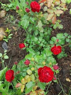 Розы цветут 20170710