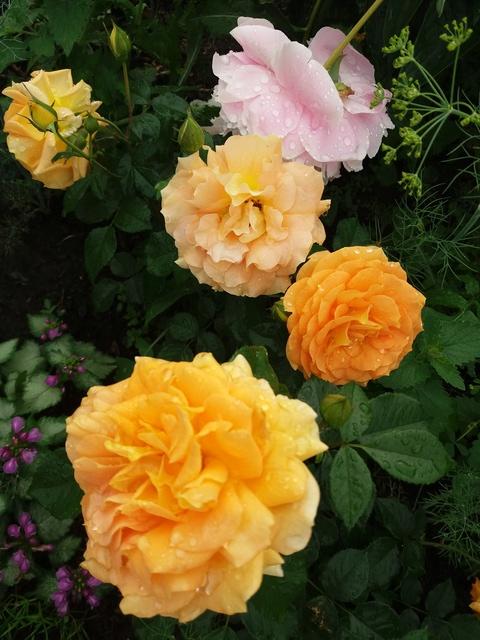 Розы цветут 20170713