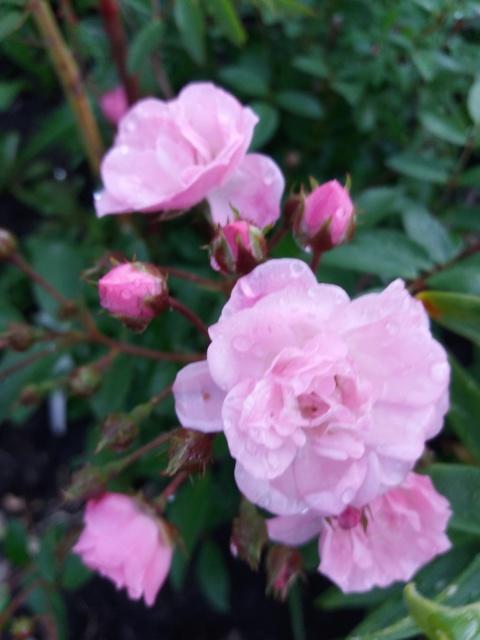 Розы цветут - Страница 3 20170717