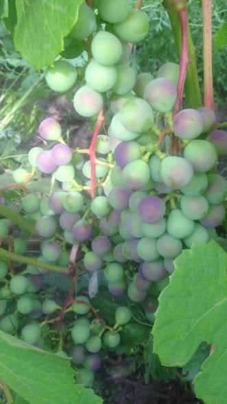 Виноград- секреты выращивания - Страница 31 Img-2012