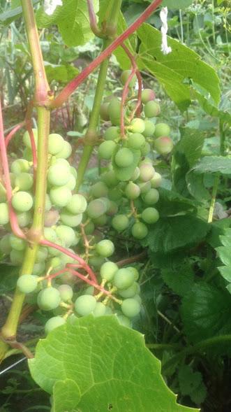 Виноград- секреты выращивания - Страница 31 Img-2013