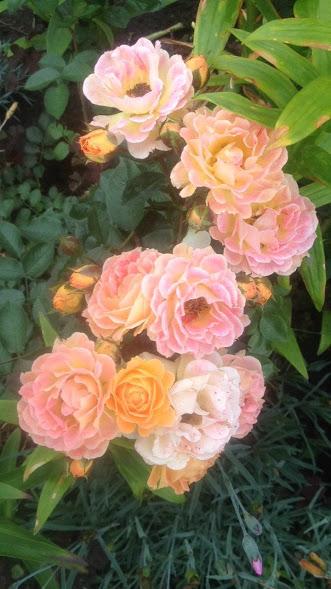 Розы цветут - Страница 4 Img-2017