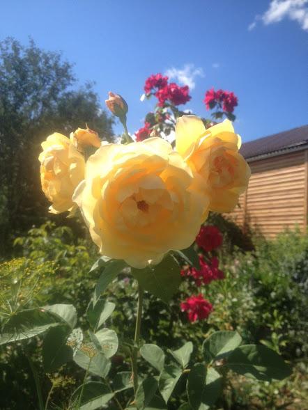 Розы цветут - Страница 4 Img-2019