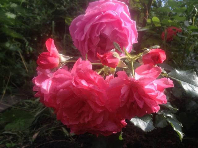 Розы цветут - Страница 4 Img-2020