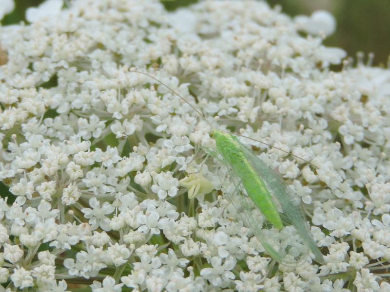 [Chrysoperla sp.] insecte inconnu  Rscn0413