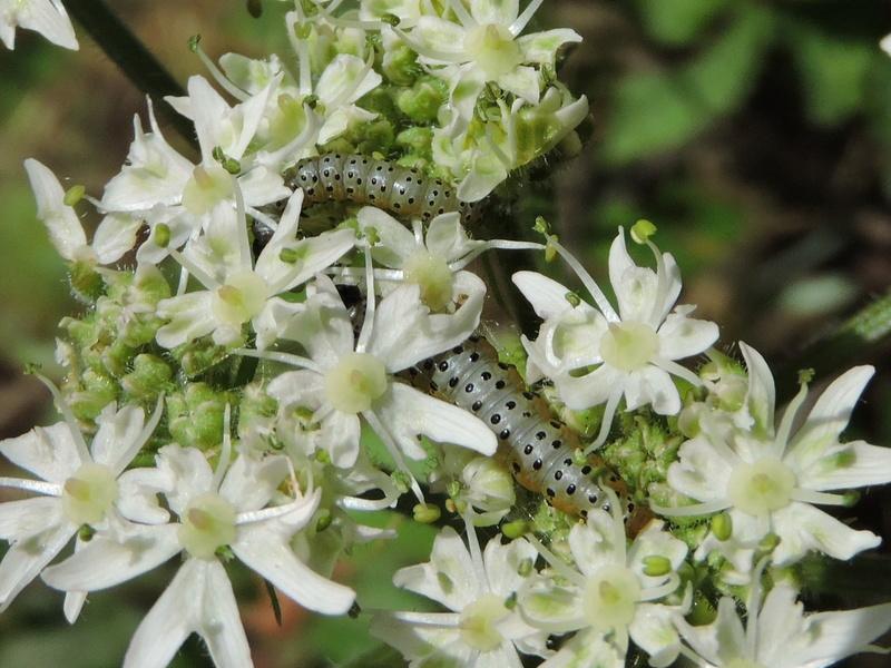 chenille ou larve ? Rscn6210