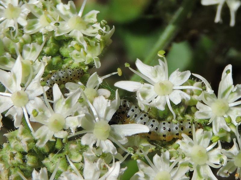 chenille ou larve ? Rscn6211