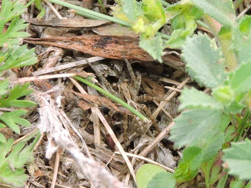 araignée inconnu Rscn6610
