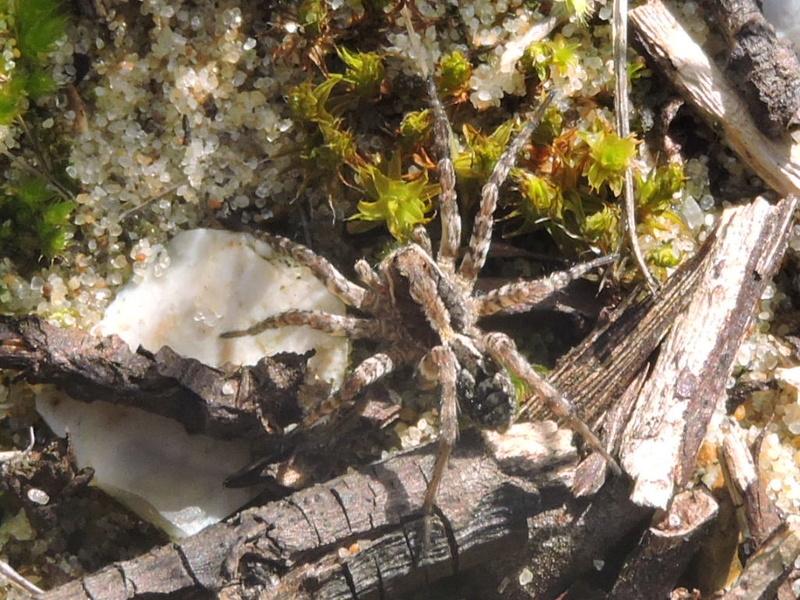 une Lycosidae  Rscn7711