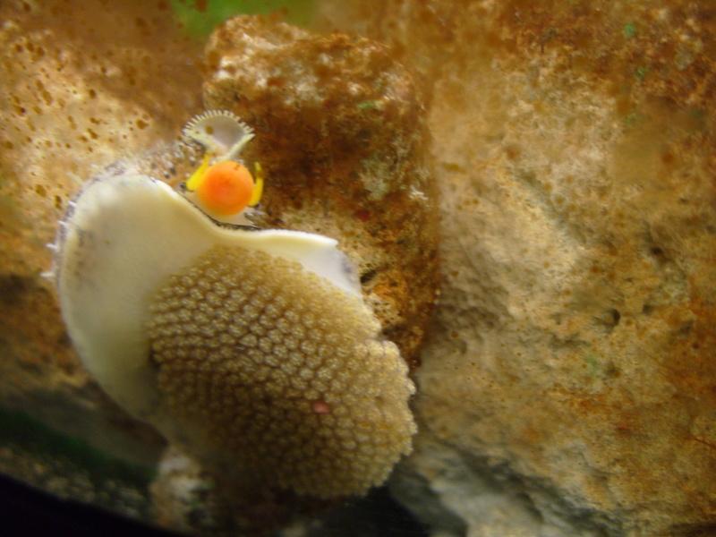 Cypraea de Nouvelle Calédonie - Live S1050112