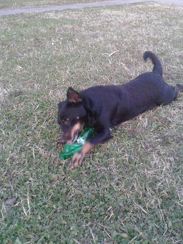MICI (CRNKA) petite chienne des rues - SERBIE 19987410