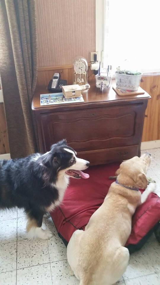 JANGO un des 6 labradors en fourriere - SERBIE 20067710