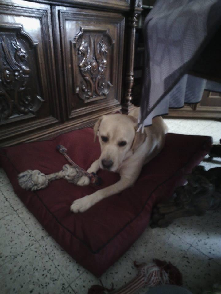 JANGO un des 6 labradors en fourriere - SERBIE 20117610