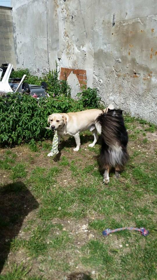 JANGO un des 6 labradors en fourriere - SERBIE 20120711