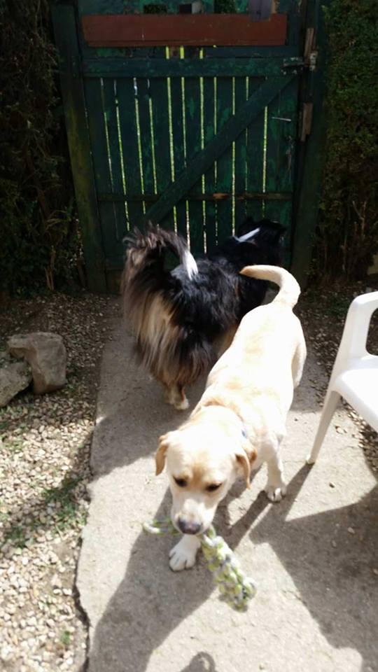 JANGO un des 6 labradors en fourriere - SERBIE 20136610