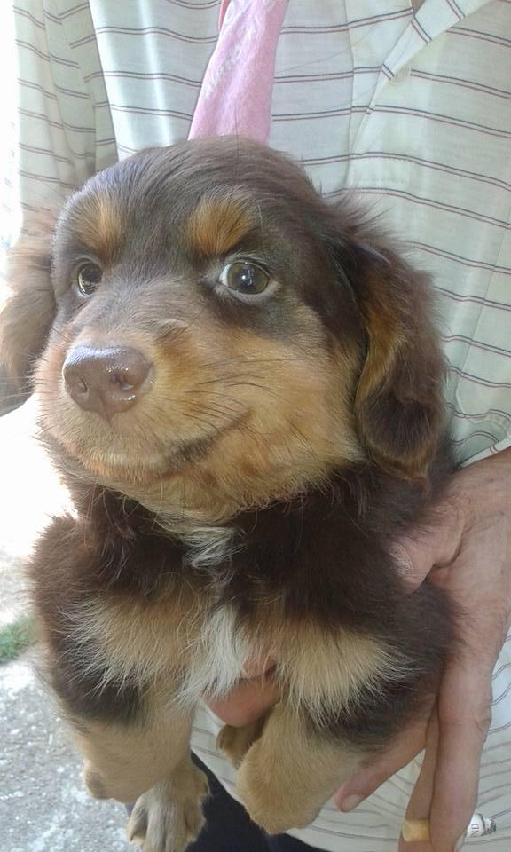 CHOUPETTE un petit chien de poche ! - BULGARIE 20604310