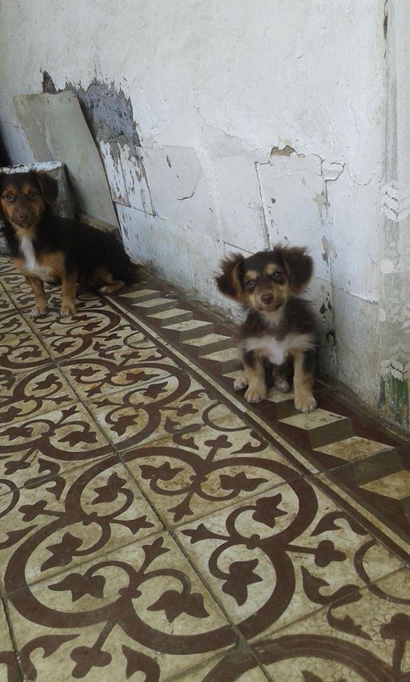CHOUPETTE un petit chien de poche ! - BULGARIE 20815110
