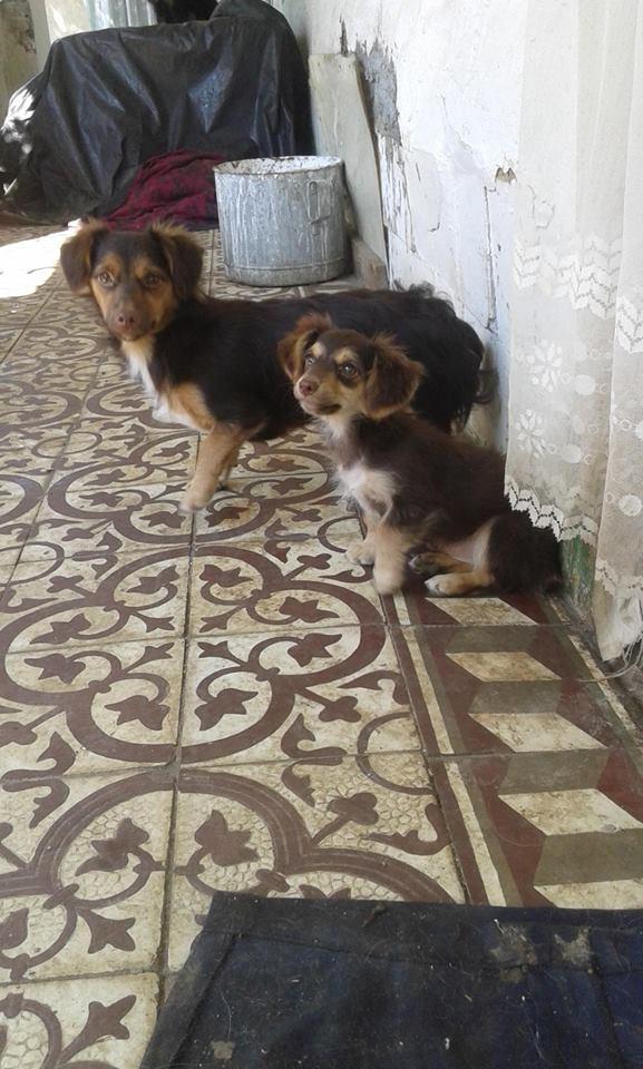 CHOUPETTE un petit chien de poche ! - BULGARIE 20840211
