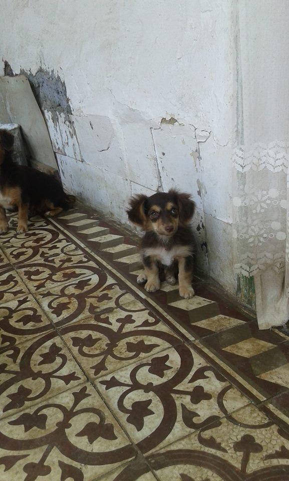CHOUPETTE un petit chien de poche ! - BULGARIE 20840212