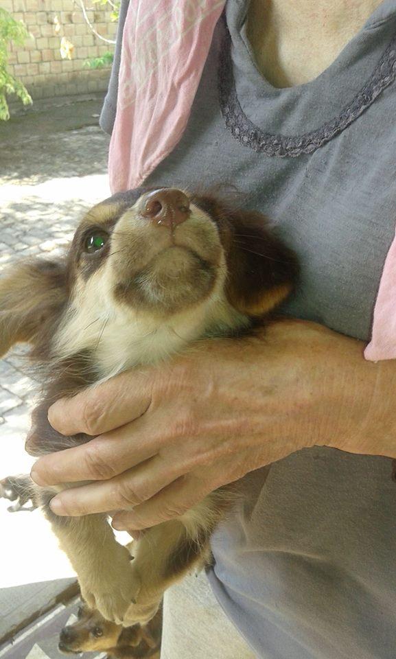 CHOUPETTE un petit chien de poche ! - BULGARIE 20840511