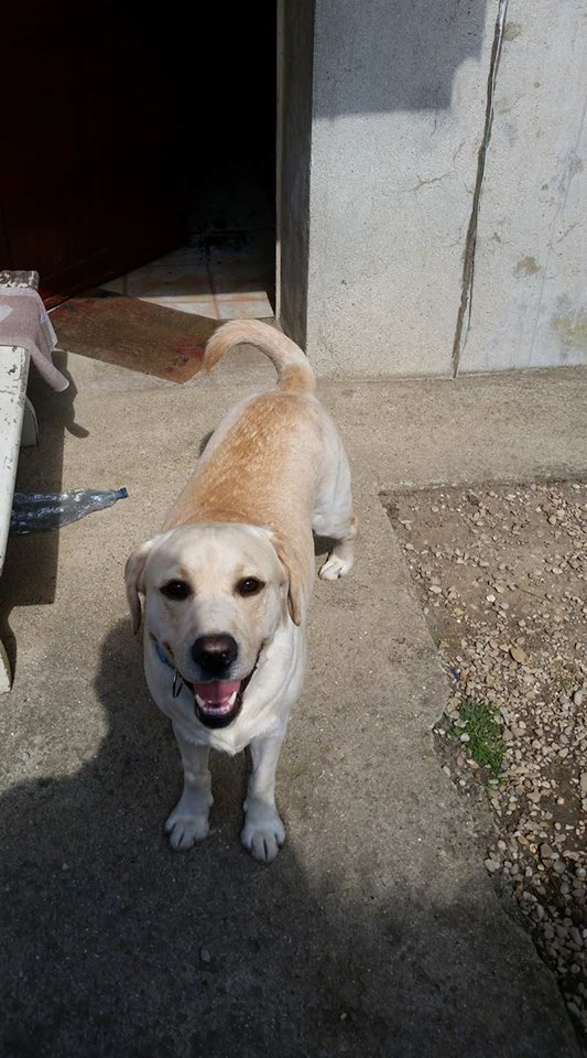 JANGO un des 6 labradors en fourriere - SERBIE 21322710