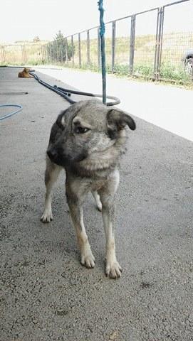 STARK superbe croisé chien loup tchécoslovaque - SERBIE 21729110
