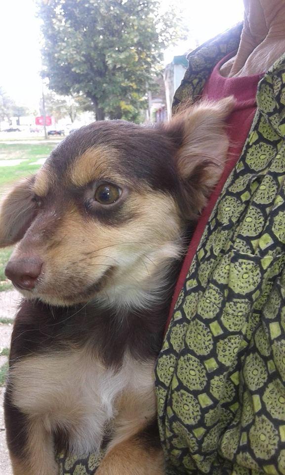 CHOUPETTE un petit chien de poche ! - BULGARIE 21741410