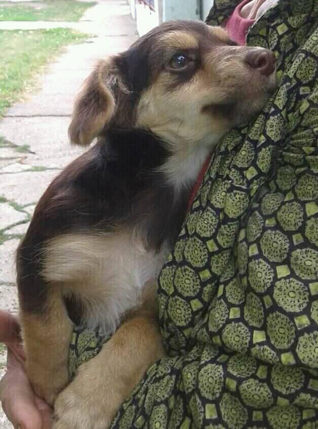 CHOUPETTE un petit chien de poche ! - BULGARIE 21741710