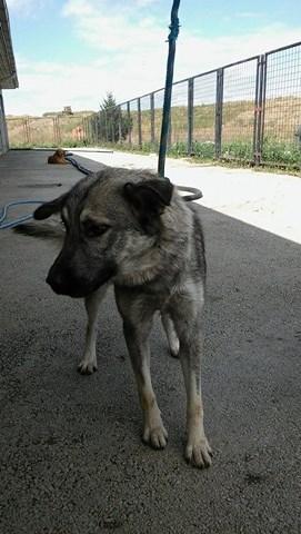 STARK superbe croisé chien loup tchécoslovaque - SERBIE 21754410