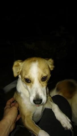 CINCA une petite chienne adorable - SERBIE 21903810