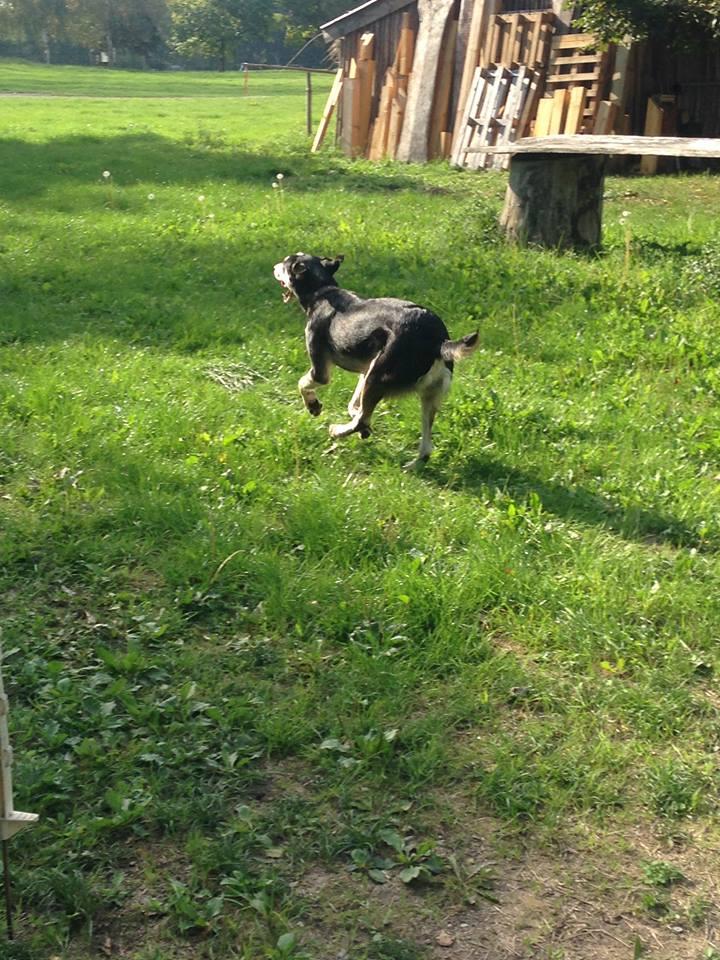 YOKO splendidie bébé husky - BULGARIE  22046811