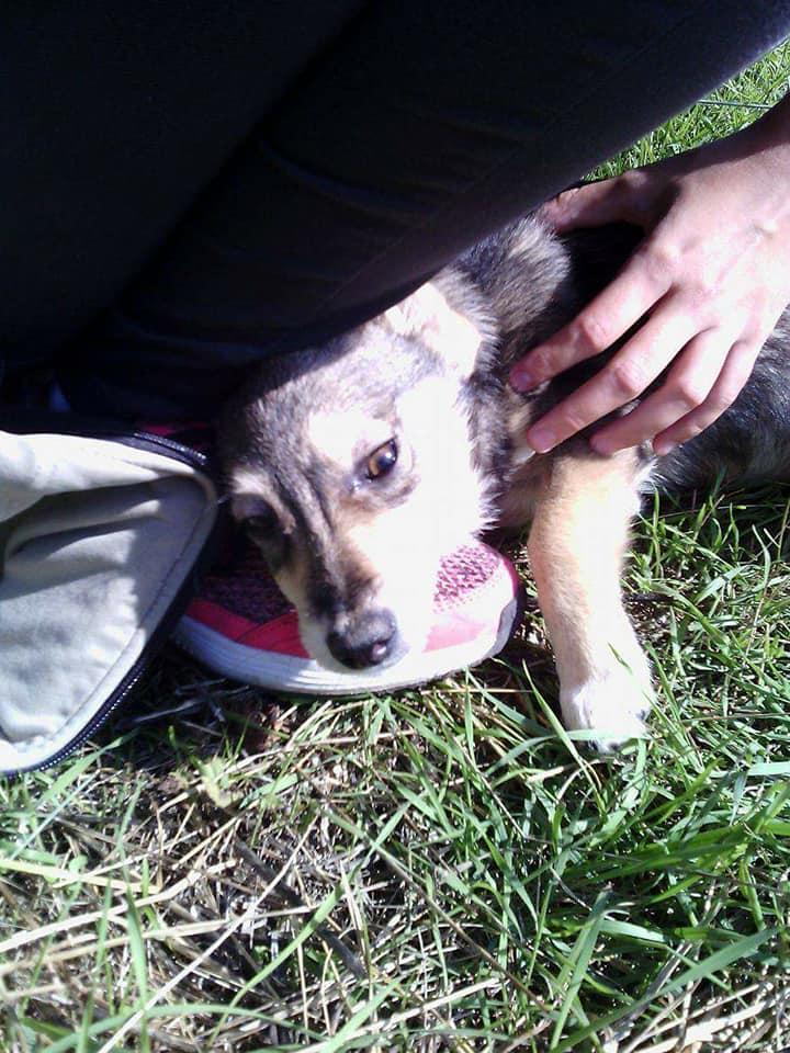LEELOO adorable petite chiot tricolore - BULGARIE 22089310