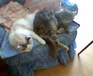JULES et EDOUARD - chats mâles à poils longs, nés en 2005 - adoptés par Sophie et André (Belgique) Edouar14