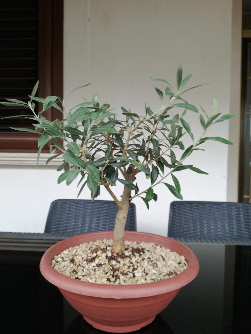 "primo ""bonsai"" di ulivo - Pagina 4 Img_2011"