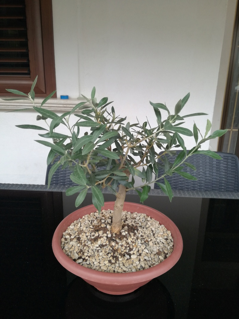 "primo ""bonsai"" di ulivo - Pagina 4 Img_2012"