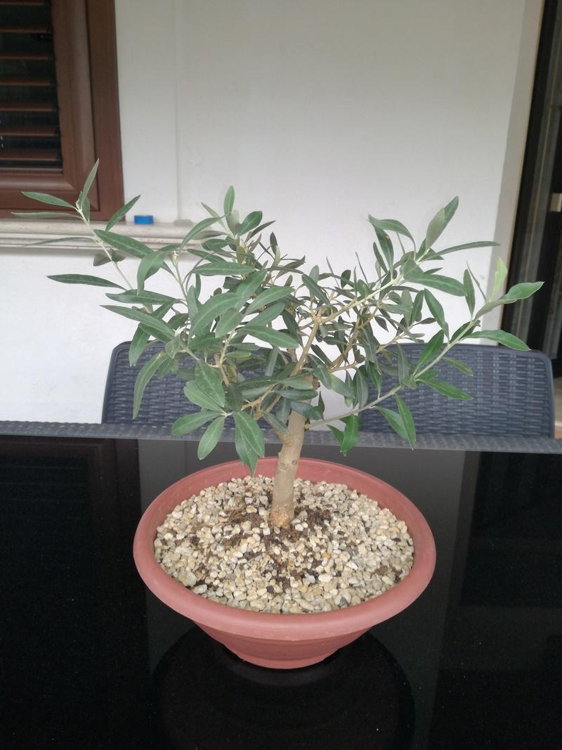 "primo ""bonsai"" di ulivo - Pagina 4 Img_2013"