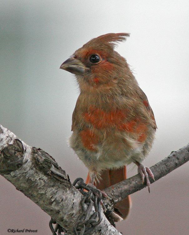 Cardinal rouge juvénile Cardin10